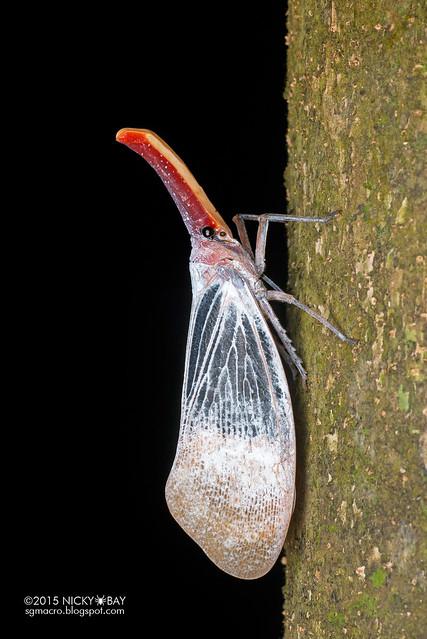 Lantern bug (Pyrops sultanus) - DSC_5641