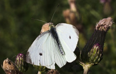 Small white on a thistle