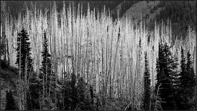 Dead Forest, Alpine Lakes Wilderness