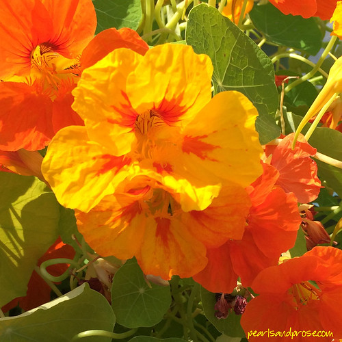fairbanks_nasturtiums_web
