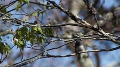 on the Blue Ridge Parkway: Dark-eyed junco(Junco hyemalis)