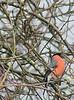 Bullfinch amongst branches