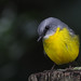 Eastern Yellow Robin (Eopsaltria australis) by gndaskalova