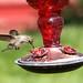 Hummingbird by twm1340