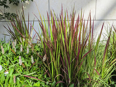 chrysopogon zizanioides(0.0), flower(1.0), grass(1.0), plant(1.0), herb(1.0), hierochloe(1.0), flora(1.0), plant stem(1.0),