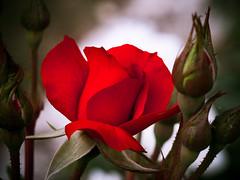 Red softness