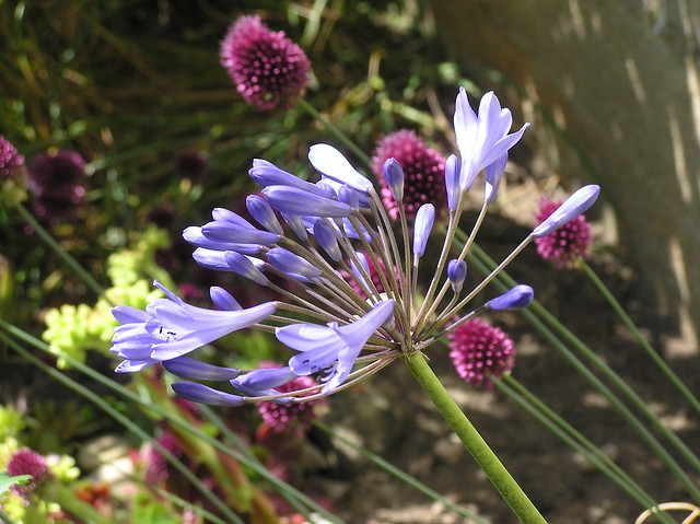Agapanthus 'Blue Magic'