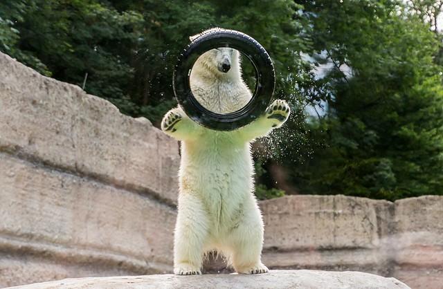 Kleiner Eisbär ganz groß