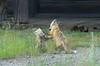 Red Fox Kits (Vulpes vulpes) DDZ_7342 by NDomer73