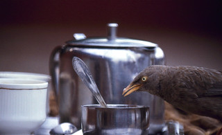 Breakfast Guest : a Jungle Babbler (Turdoides striatus) pecking at the sugarbowl ...