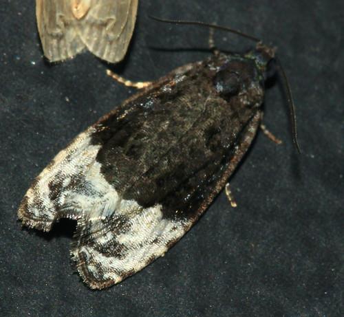 Moth 1765