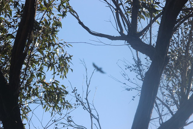 Blurry Wedge Tail eagle