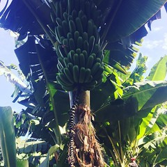 "maoli-- ""canoe genetics"" brought by polynesians in their canoes, these raised in windward seclusion from the"" bananna bunchytop"" which is aphid transmitted-- this is a refugia garden! planted in traditional style,intermixed with ""pue"" raised beds with 13"
