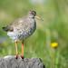 Stelkur - Common Redshank - Tringa totanus by oskar.sigurmundason