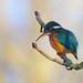 Small photo of Kingfisher (Female)