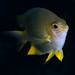 Small photo of Golden damselfish (Amblyglyphidodon aureus)