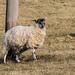 Sheep Personalities (4 of 4)