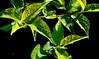Prunus_americana_00a-Q1507h