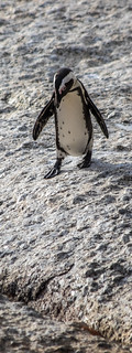 Image of The Boulders. southafrica penguin capetown boulders granite jackass westerncape africanpenguin