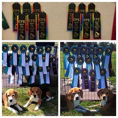 #tbt 3 years of The Bay Team Summer CPE trials! I forgot to take our signature photo around our hoard of ribbons, so this year's display of rainbow ribbons is from my display in my office. This year our record was only 6/10 Qs per beagle while our last 2