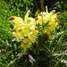 Pedicularis oederi (Kerrie Porteous)