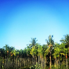 #coconut #trees #mysore #india #incredibleindia