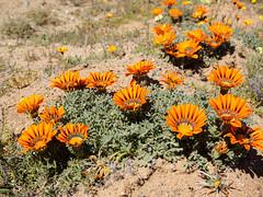 september 2016 Spring in northen Cape