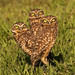 Family of Burrowing Owls / Athene cunicularia / Buhito Mochuelo by Birding Tours Colombia