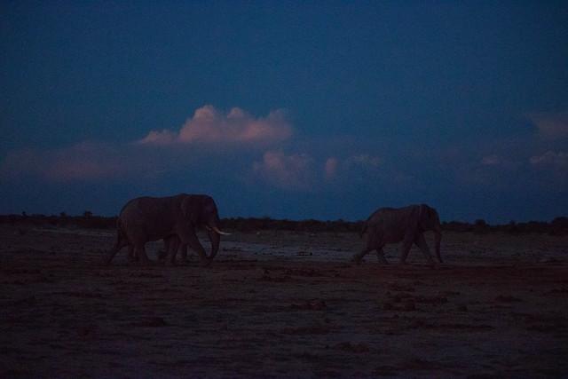 Dusk elephants