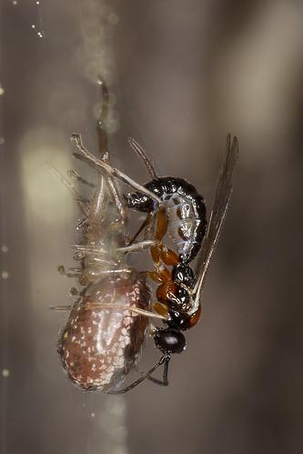 spider wasp ichneumonidae bugguide canonmacroringlitemr14ex pimplinae canonef100mmf28lmacroisusm