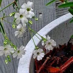 #whiteflowers #garden #beautifulmorning