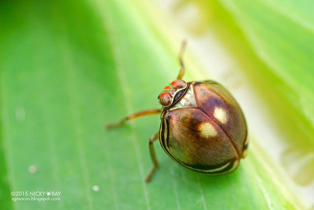 Pill-like planthopper (Hemisphaerius sp.) - DSC_4209