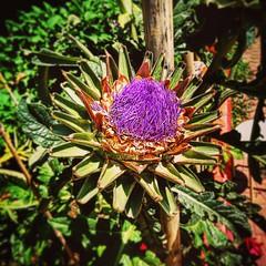 Carciofo in #fiore #riccione #riviera #romagnola #instagood #instapic #instanature #instaitalia #orto #nofilter #flowers #food #playtime
