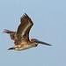Brown Pelican, Bahia la Ventosa, Oaxaca, Mexico por Terathopius