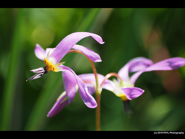 Shooting Stars (Dodecatheon pulchellum)