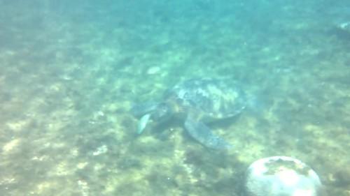 Tortuga subiendo a coger aire en la isla de APO y otras tortugas