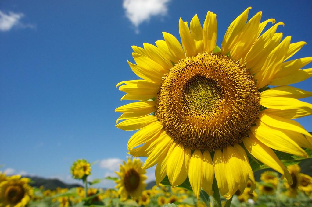 Sunflower Festival - Sayo, Hyogo (2)