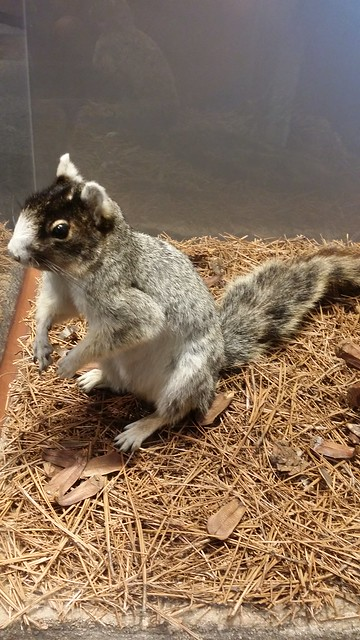Fox Squirrel in the North Carolina Museum of Natural Sciences