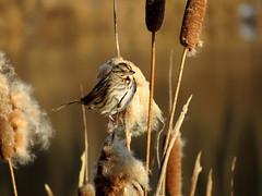 observant sparrow
