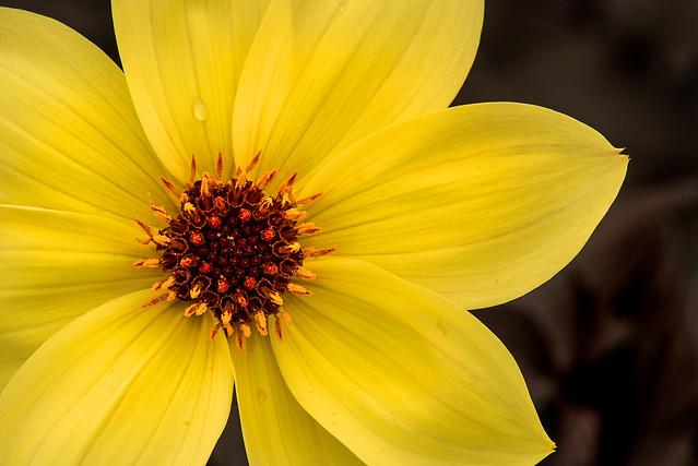 Beautiful Yellow Dahlia 3-0 F LR 4-30-16 J262