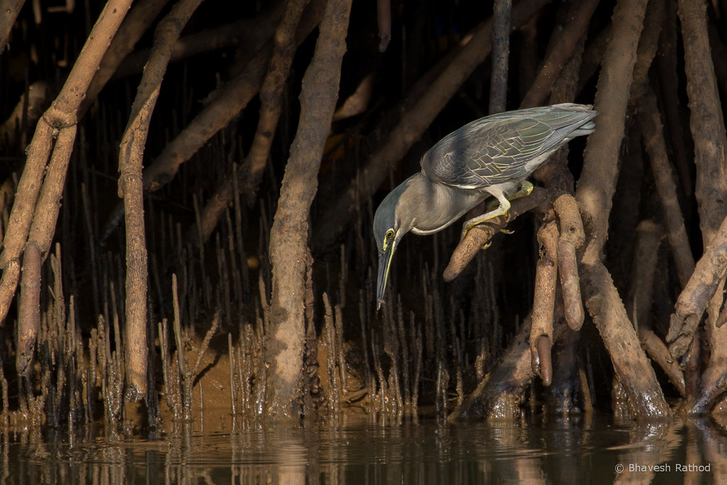 striated-heron_28203014060_o