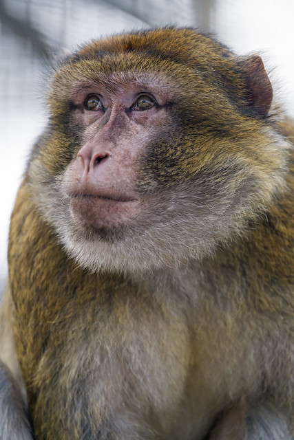 Portrait of a macaque looking up