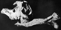 Nimravus major (fossil false sabertooth mammal with canine tooth piercing another bone) (Oligocene; Black Hank Canyon, Wildcat Hills, Nebraska, USA) 3