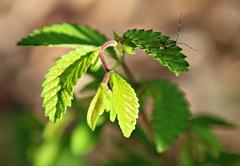 22/52 Macro- Tiny Aphid on Plant