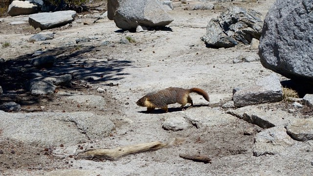 Marmot crossing PCT, m794