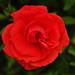 2015.07.07-01 Rose (Sigma DP3Merrill)