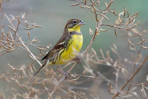 金鵐(禾花雀/黃胸鵐 Yellow-breasted Bunting)。(Allen Chan攝影;香港觀鳥會提供)