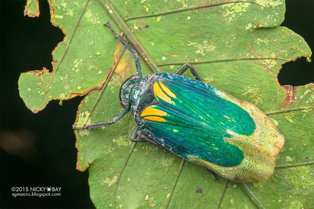 Eurybrachyid planthopper (Eurybrachyidae) - DSC_4242