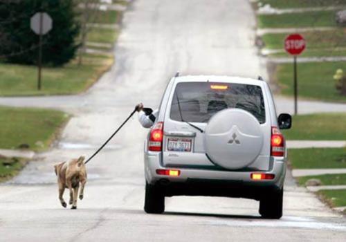 imagen graciosa de animal paseado desde coche