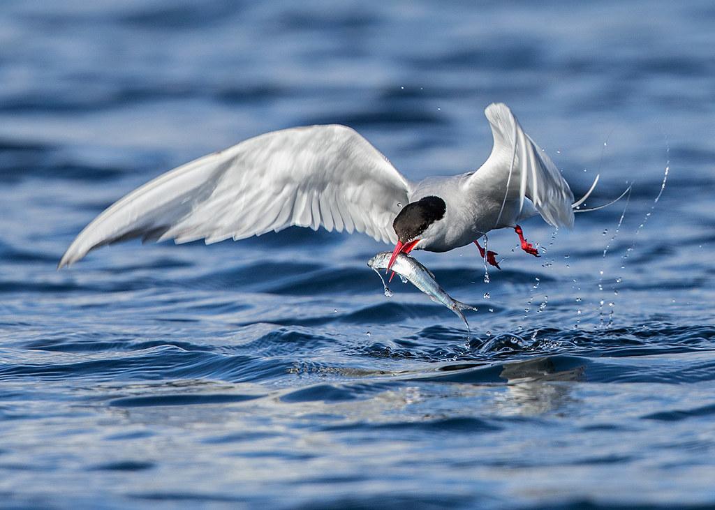 Artic Tern Sterna Paradisaea